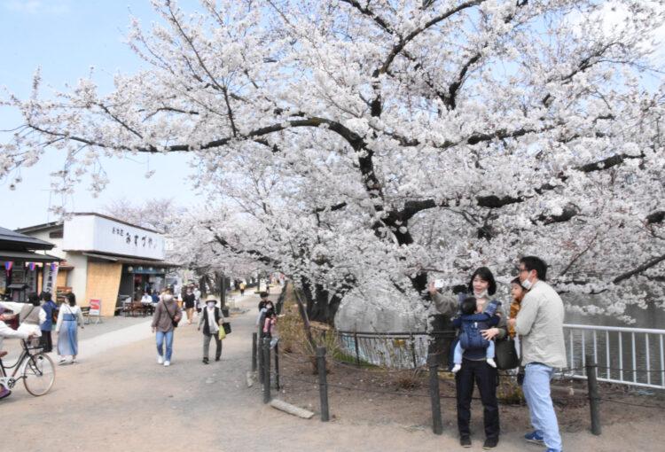 春満開 一気に 須坂・臥竜公園
