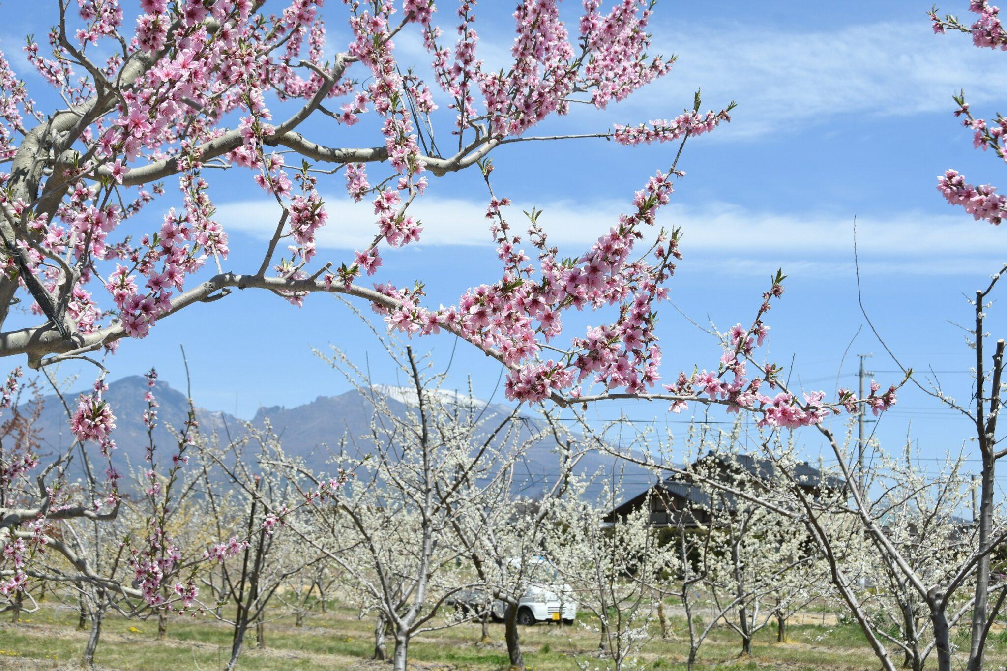 桃の花満開 浅間山とコラボ 小諸