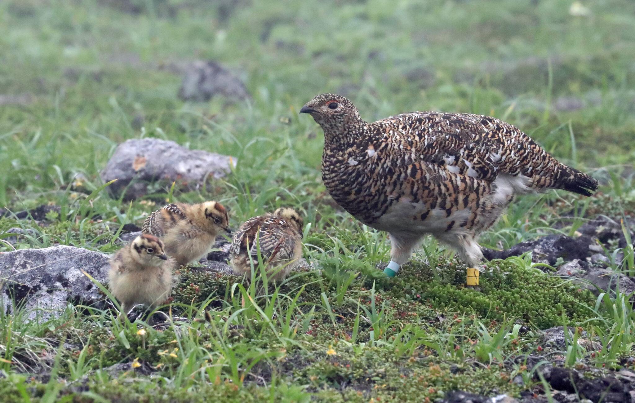 長野県の鳥「ライチョウ」 保護へCF ふるさと納税活用