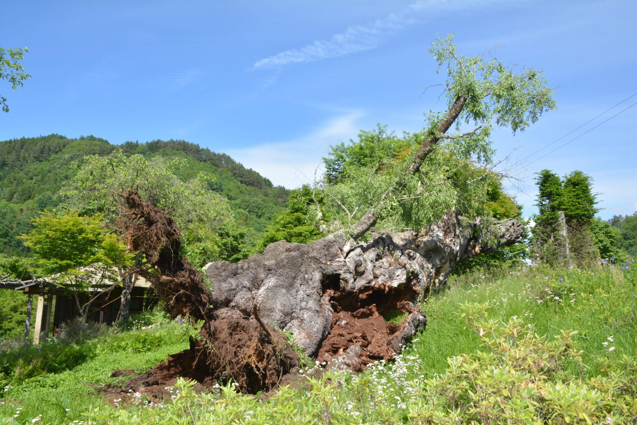 静御前の桜、倒れる 大町・美麻の県天然記念物
