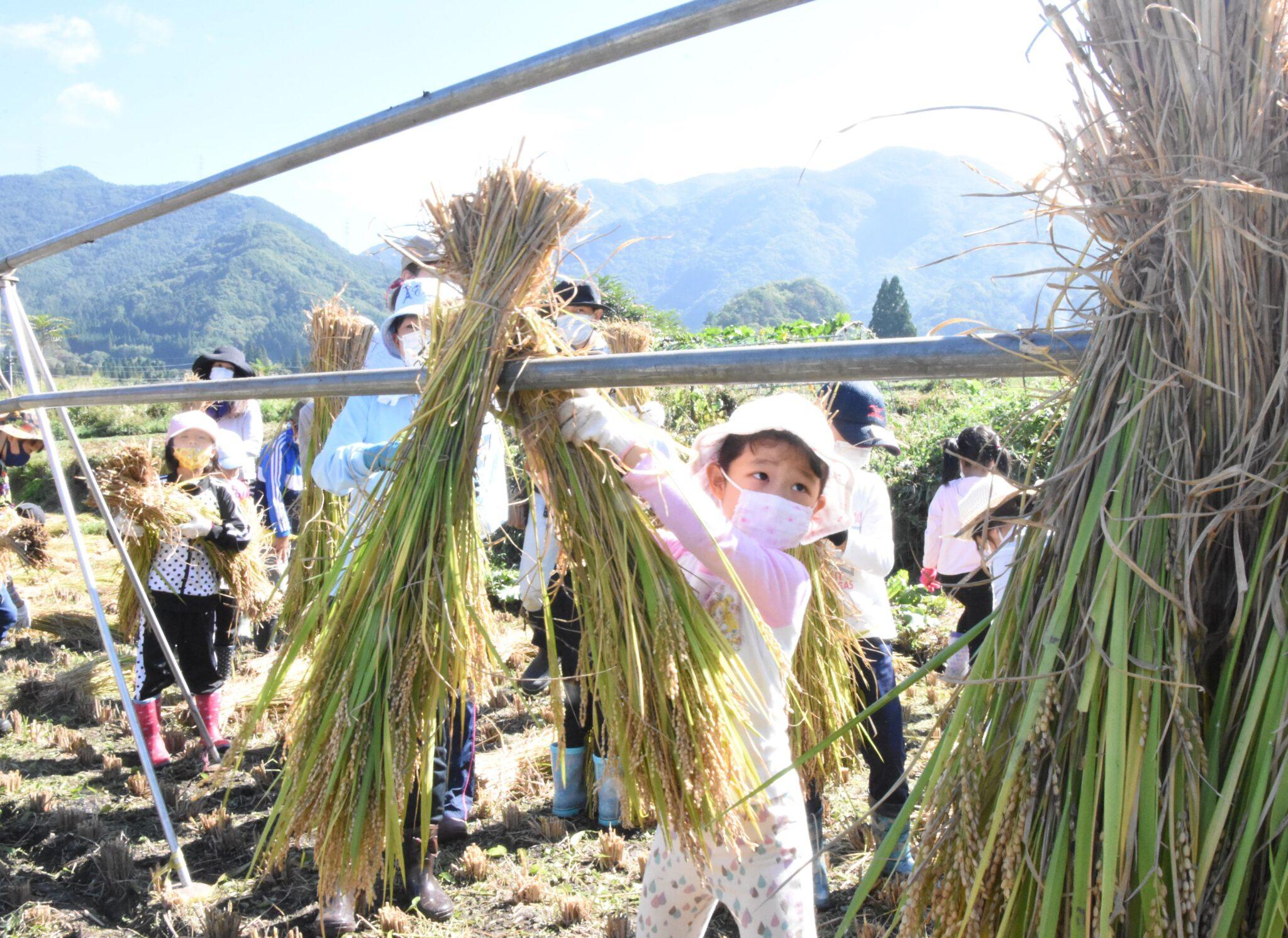刈った稲穂は天日干し 農業小学校の子どもたち 須坂