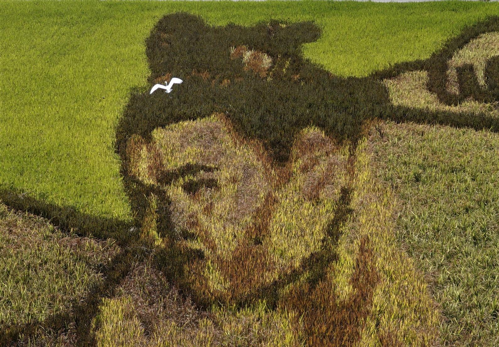 実るほど勇ましさ増す御嶽海関 安曇野の田んぼアート