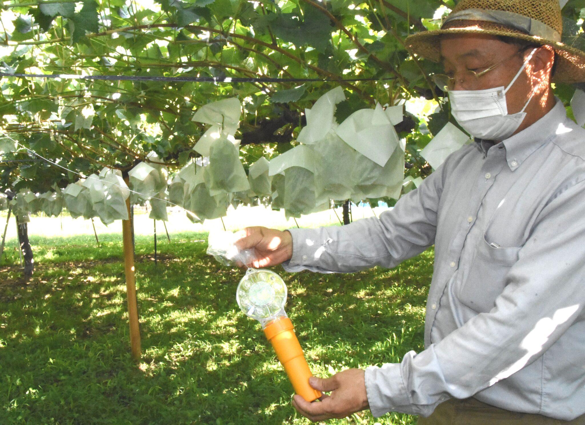 高級ブドウ盗まないで 各地で被害 警戒強める農家