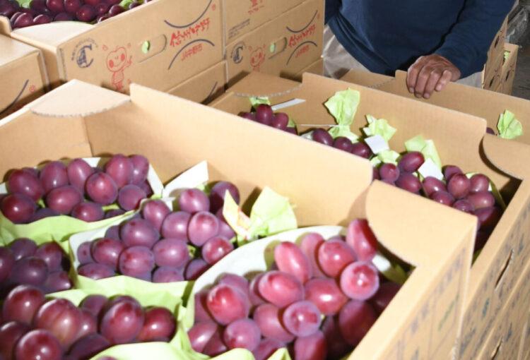 今秋イチオシの新品種ブドウ「クイーンルージュ」出荷開始